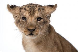 Lev berberský (Panthera leo leo)_DSC9126-Edit